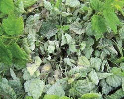 with white powdery mildew fungus growth