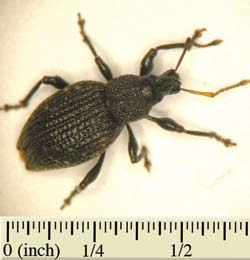 Root Weevils Adult black vine weevil with bowed antennae and long