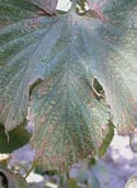 Leaf bronzing due to feeding damage.