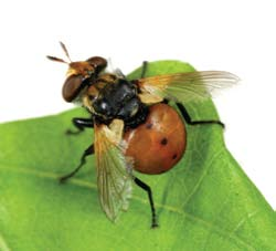 Adult tachinid fly.