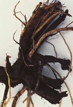 Black discoloration of diseased roots, with distinct margin between healthy tissue.