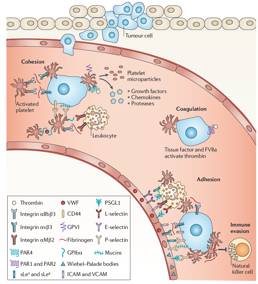 Contribution of cells interaction to tumor progression investigation of platelets, their surface receptors, released products and their critical influence on