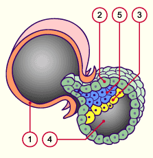 Introducción a la Embriología - Introduction to Embryology Desarrollo embrionario Embryo development 144 horas tras la fecundación (6º día) 144 hours after fertilization (6th day) 1. Zona pelúcida 2.