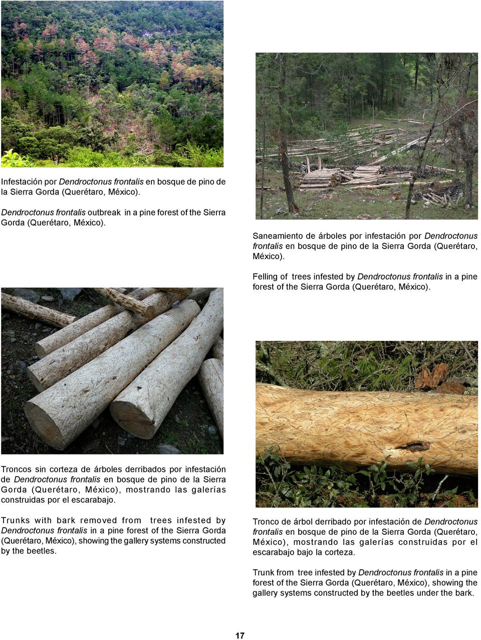 Felling of trees infested by Dendroctonus frontalis in a pine forest of the Sierra Gorda (Querétaro, México).