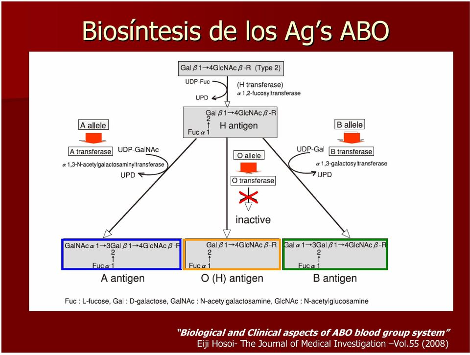 ABO blood group system Eiji Hosoi The