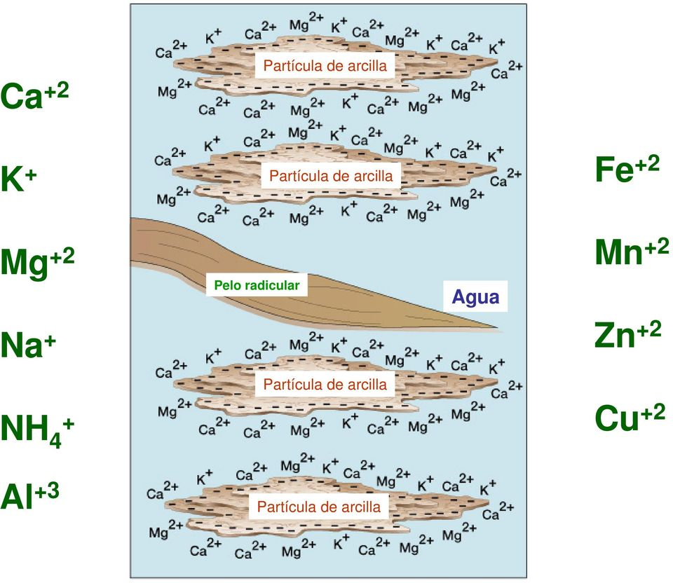 radicular Agua Mn +2 Zn +2 NH 4 +