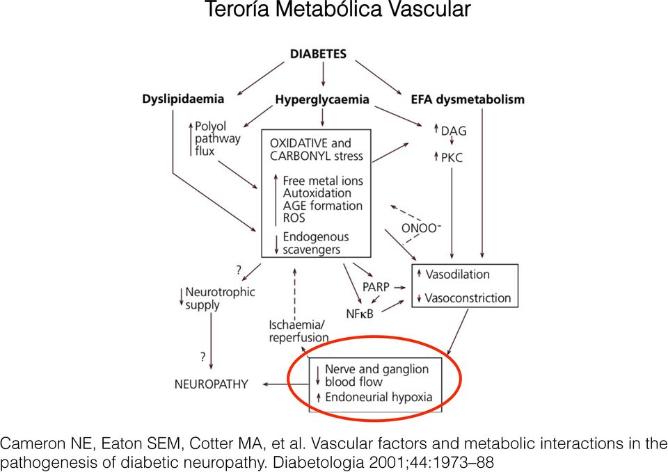 Vascular factors and metabolic interactions in