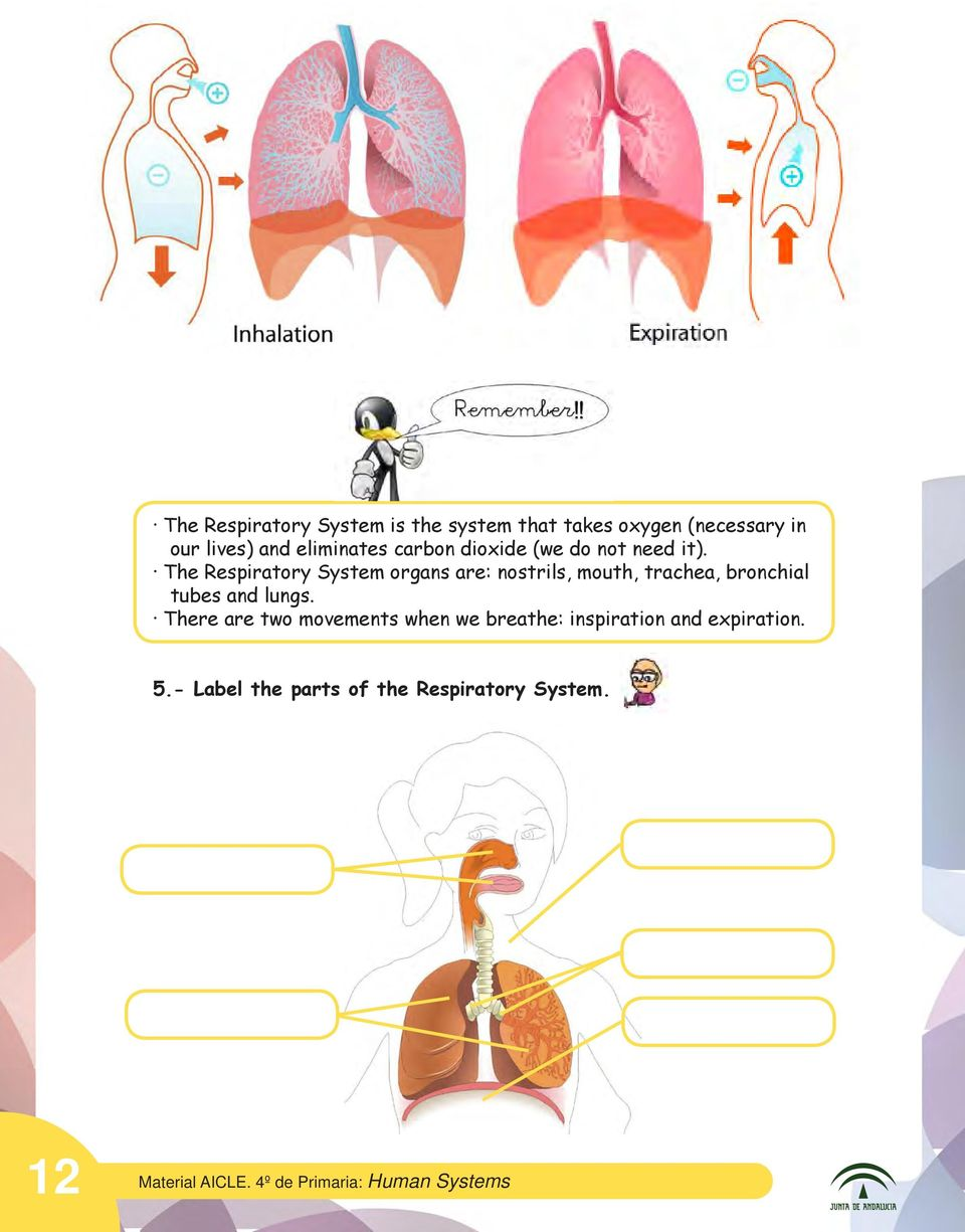 The Respiratory System organs are: nostrils, mouth, trachea, bronchial tubes and lungs.