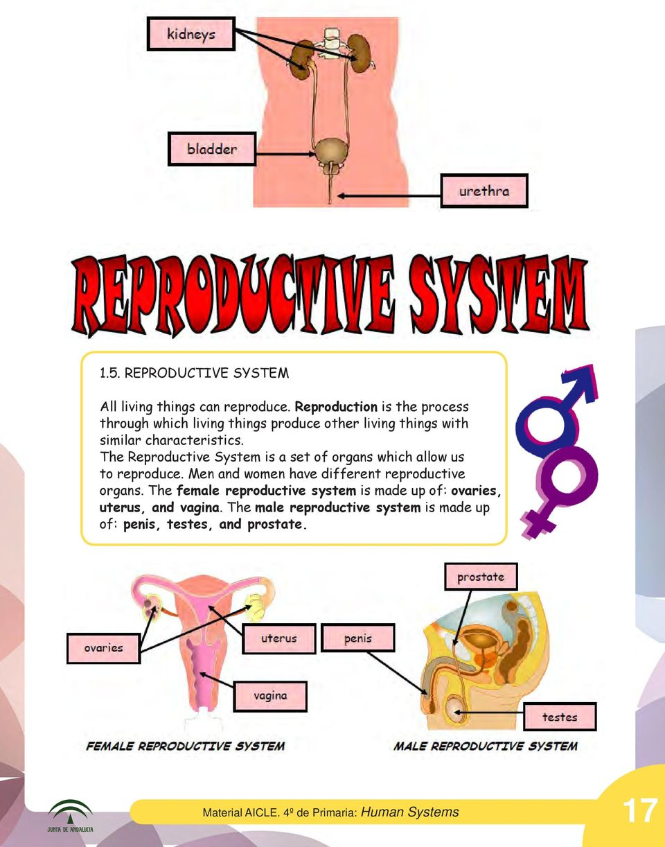 The Reproductive System is a set of organs which allow us to reproduce. Men and women have different reproductive organs.