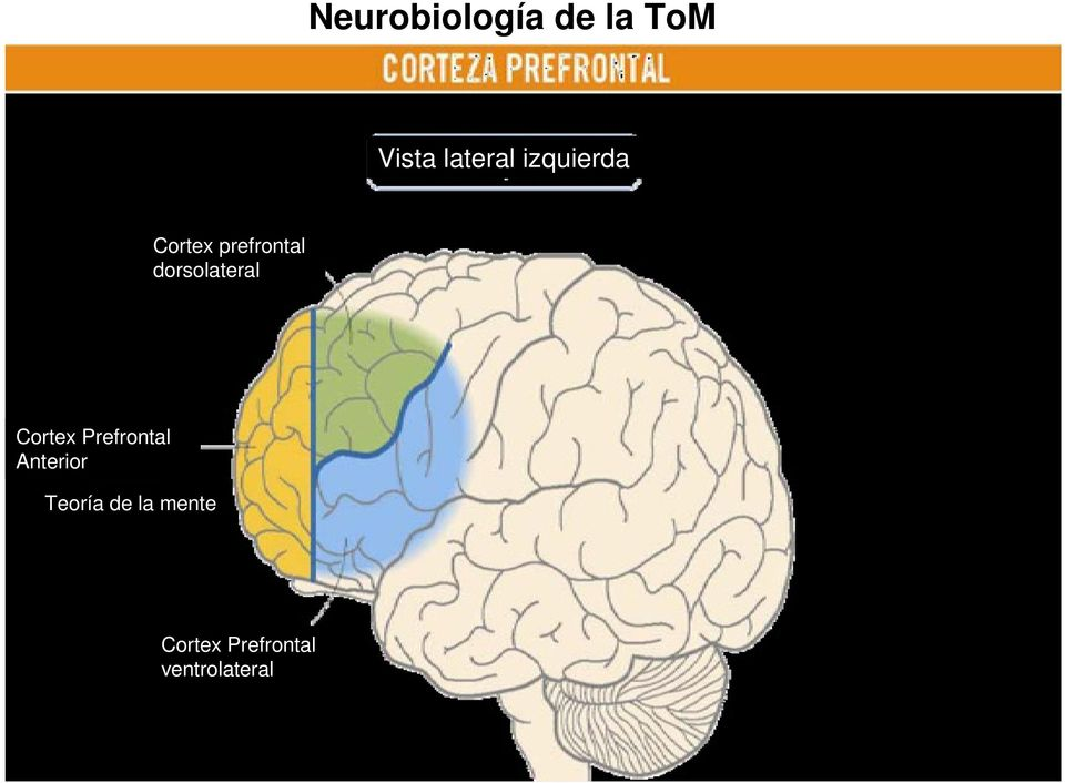 dorsolateral Cortex Prefrontal