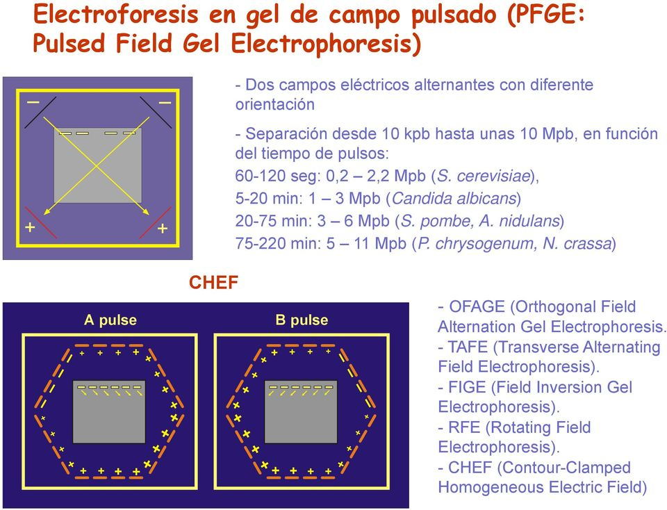 chrysogenum, N. crassa) + + + + + A pulse + + + + + + + + + + + + + + + CHEF + + + + + + + + B pulse + + + + + + + + + + + + - OFAGE (Orthogonal Field Alternation Gel Electrophoresis.