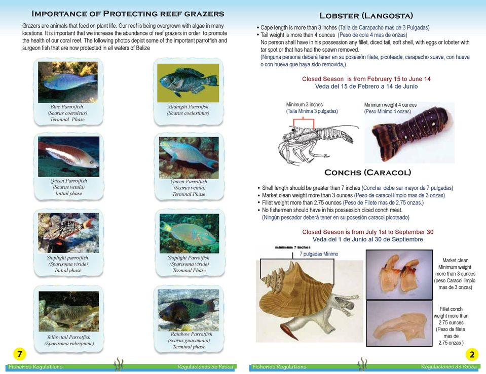 The following photos depict some of the important parrotfish and surgeon fish that are now protected in all waters of Belize Lobster (Langosta) Cape length is more than 3 inches (Talla de Carapacho