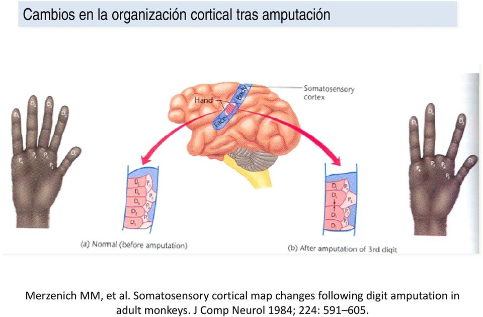 Somatosensory cortical map changes following