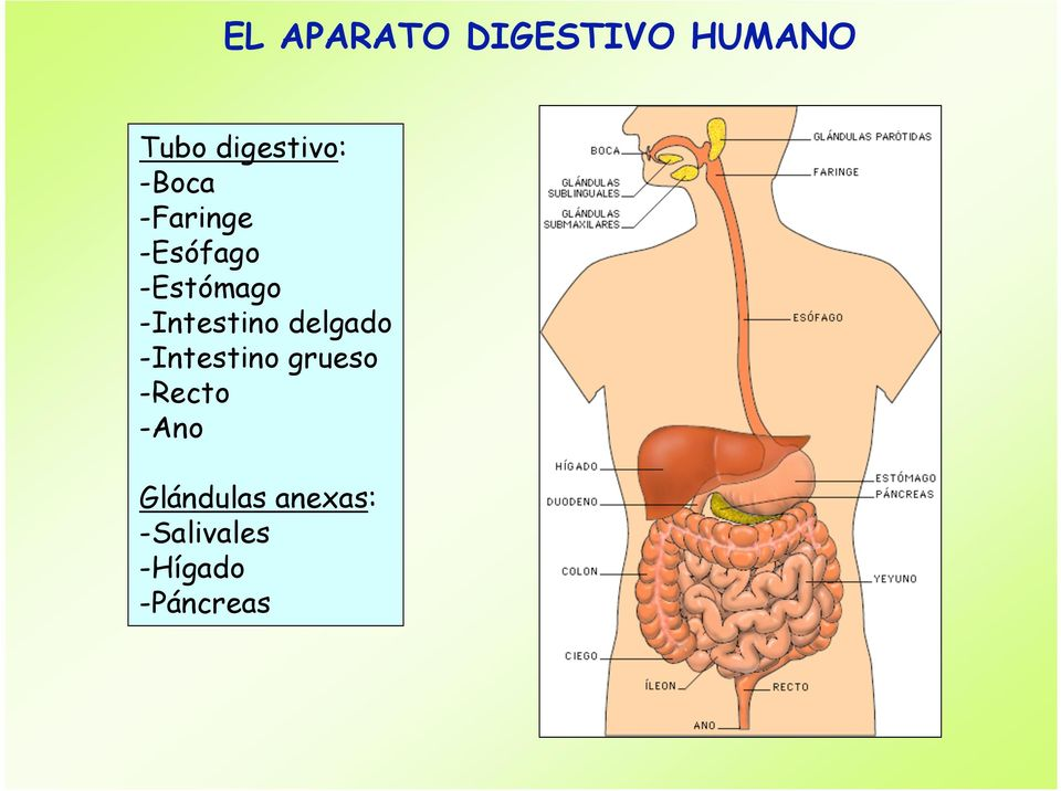 -Intestino delgado -Intestino grueso -Recto