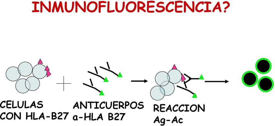 ANTICUERPOS a-hla