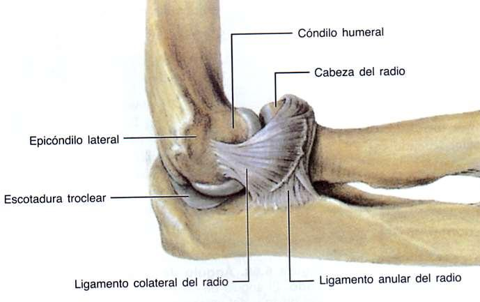 b) Ligamento colateral radial: Tiene 3