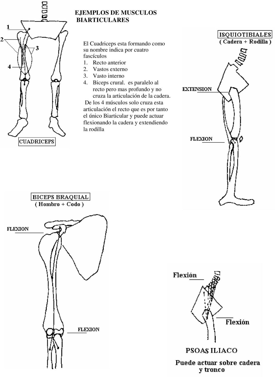 SISTEMA MUSCULAR. M. Monoarticulares M. Biarticulares - PDF