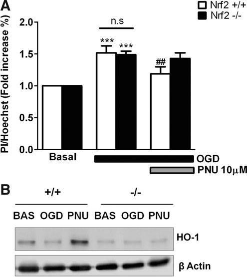 FIG. 4. Protection elicited by poststress treatment with PNU282987 is  associated to the nuclear 20755b50cbbe8